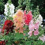 Plantes ornementales,Graine parfumée Vivace,Fleurs et Plantes de graines de Rose trémière Quatre Saisons Facile à Planter Balcon intérieur Plantes à Fleurs en pot-5kg