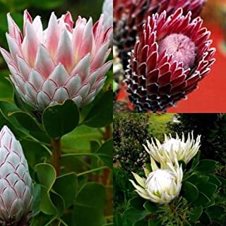 XKSIKjian's Garden 50Pcs Mixed Color Protea Cynaroides Seeds Ornamental Plant Home Office Decor Non-GMO Seeds Open Pollinated Seeds for Planting - Protea Cynaroides Seeds