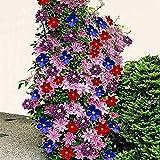 MURIEO jardín- Plantas trepadoras Clematis de 50 piezas, semillas de flores, flores perennes resistentes, efectos de paisaje para terrazas, cercas, jardín