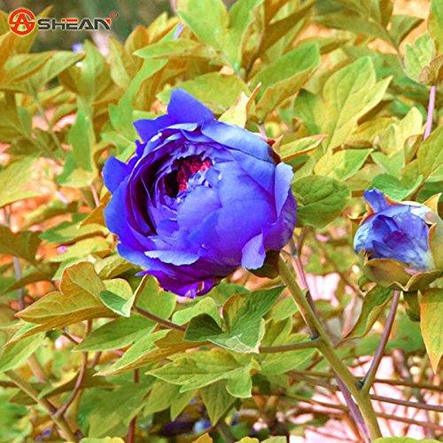 Double Vert Jaune Peony semences Potted Pivoine Fleur Graine Variété Remplissez le bourgeonnement Taux 99% Couleurs mixtes -20 pcs / sac