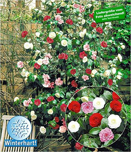 BALDUR-Garten Winterharte Garten-Kamelie 'Tricolor', 1 Pflanze Camellia japonica japanische Kamelie winterhart