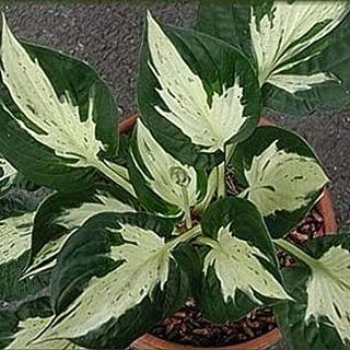 Hosta Revolution Medium Thick Speckled Healthy 2.5
