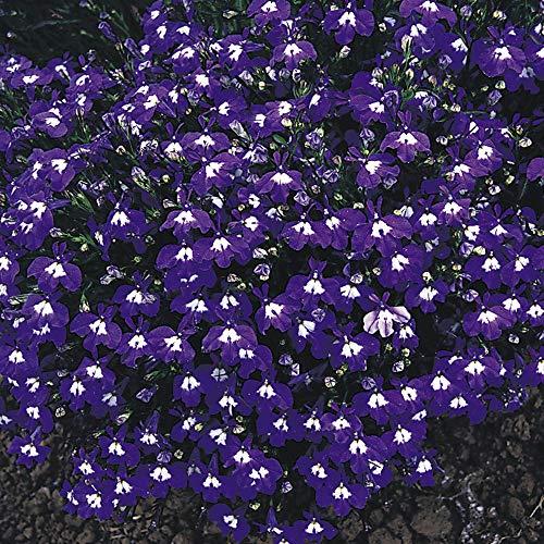 Outsidepride Lobelia Mrs. Clibran - 5000 Seeds