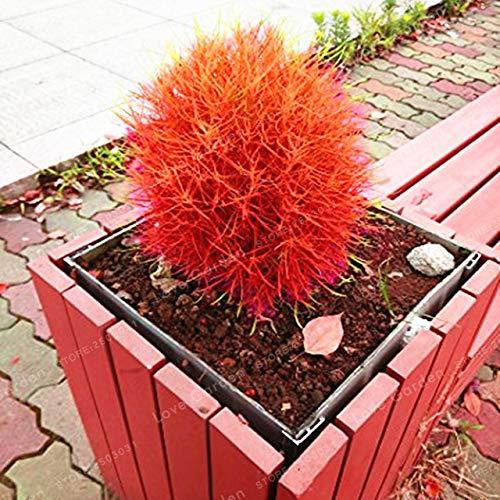 1: 100 P & Ccedil; S/Saco 6 Cor Bonsai Grama Sar & Ccedil; A Ardente Kochia Scoparia Kochia Plantio De Sementes De Flores Sementes De Plantas Trouver des livres Par Jardim De Casa