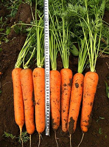 50 graines / paquet de légumes de graines de semences de carotte Radis jaune