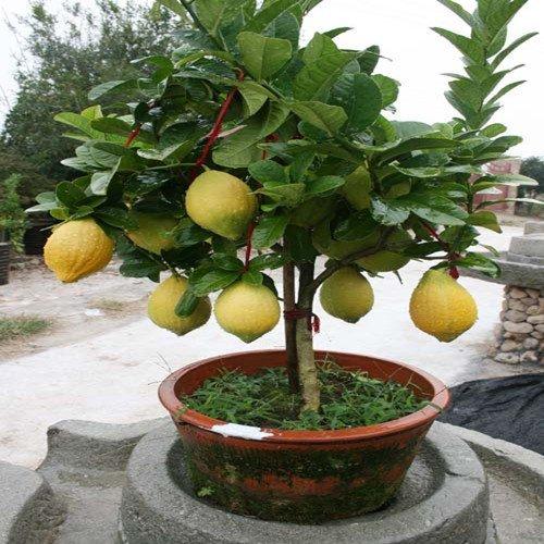 Pots de fleurs Planters 50 Graines Citron intérieur, extérieur, graines comestibles BONSAï graines vert citron, les aliments biologiques