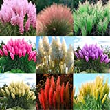Decorative Flowers Plants for Home Garden 2000Pcs Mixed Color Pampas Grass Cortaderia Selloana Seeds Garden Plant Decor - 2000pcs Mixed Color Pampas Grass Seeds