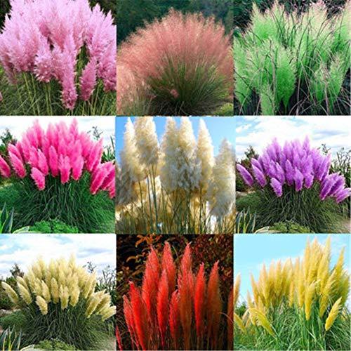 2000Pcs Melange Pampasgras Cortaderia Selloana Samen Gartenpflanzendekoration 2000 Stück gemischte Farbe Pampas Grassamen