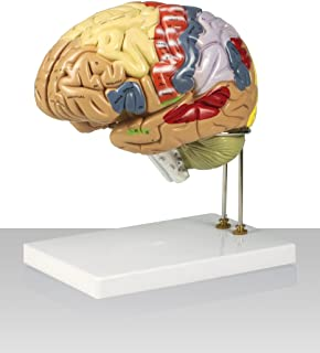 Vision Scientific VAB400 Color-Coded Human Regional Brain - 4 Parts | Approximately 130 Key Structural Features are Identified | 9 Vivid Colors to Identify the Different Brain Functions|With Key Card