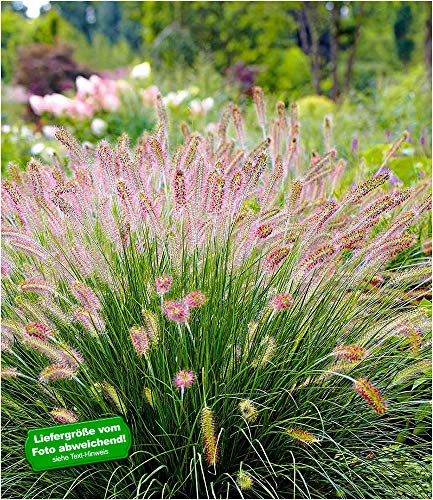 "BALDUR-Garten Lampenputzergras""Hameln"" winterhart, 3 Pflanzen Pennisetum Federborstengras, Süßgras"