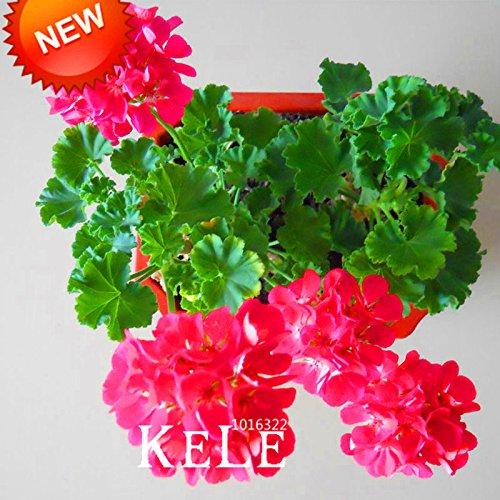 Big Sale! 20 Pcs / Graines Bag Hot Pink univalve Géranium Graines vivace Fleur Graines Pelargonium peltatum pour Rooms, # POT4GL