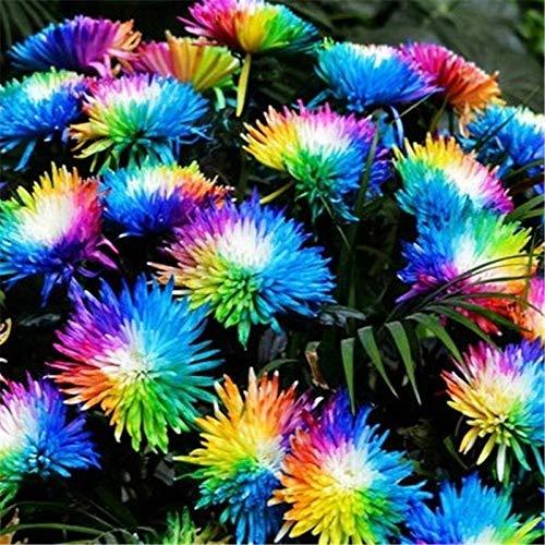 XINDUO Blüten Saatgut mehrjährig,Regenbogen Chrysanthemen Balkon Blumenpflanze Samen-50 Kapseln,Steingarten & Staudenbeet