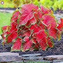 50Pcs Caladium Indoor Seeds Caladium Bicolor Flower Seeds Colocasia for Home Garden : 11