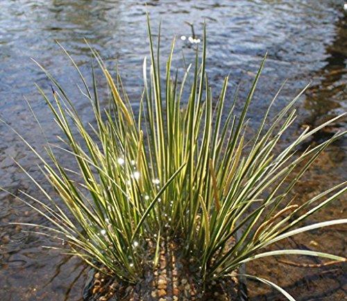 4er-Set im Gratis-Pflanzkorb - Acorus gramineus - winterhart - Zwergkalmus - Graskalmus - Wasserpflanzen Wolff