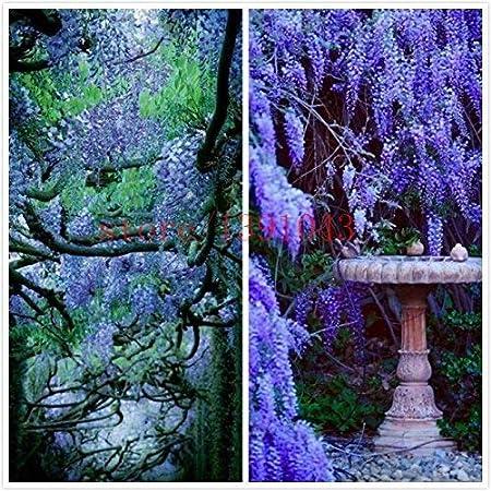 10 semillas de glicina al aire libre Semillas de plantas púrpura de las glicinias de flores para el jardín de DIY flor de la subida de la rota