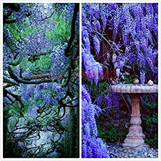 10 semillas de glicina al aire libre Semillas de plantas púrpura de las glicinias de flores para el jardín de DIY flor de ...