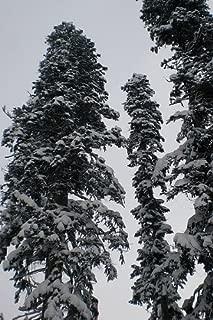 100 fresh Seeds -Nordmann fir- -Abies nordmanniana- **Most Popular Christmas Tree**