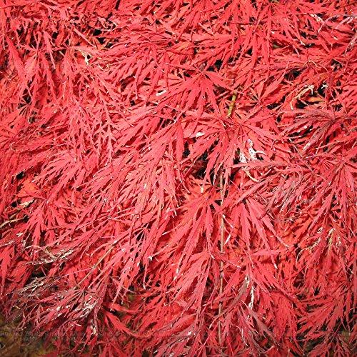 20 particules/sac Maple Leafs de Toronto Red Maple Seeds Crimson Queen Seeds Fleur d'érable Bonsaï Garden Four Seasons usine