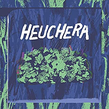 Heuchera
