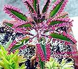 Hot Sale 100 Pcs Bonsai Red Longevity Flower Seeds Kalanchoe Novel Plants For Diy Home Garden Mini Succulent Pots Plantas Raras 1
