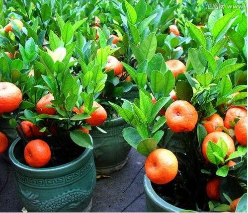 10pcs/lot Balcon Patio pot arbres fruitiers plantés Graines Kumquat Mandarine orange Citrus 3