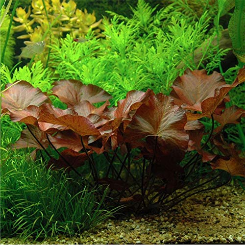 Aquarium Plants Factory - Dwarf Water Lily Bulb Nymphaea Rubra/Stellata APF Live Aquatic Plants BUY2GET1FREE