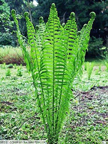 5 OSTRICH FERN Rhizome/root- (Matteuccia...