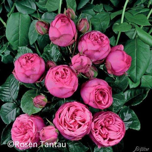Edelrose Pink Piano in dunkelpink - Duftrose winterhart - Rosen-Blüte in dunkelpink - Rose mittelstark im 5 Liter Container von Garten Schlüter - Pflanzen in Top Qualität