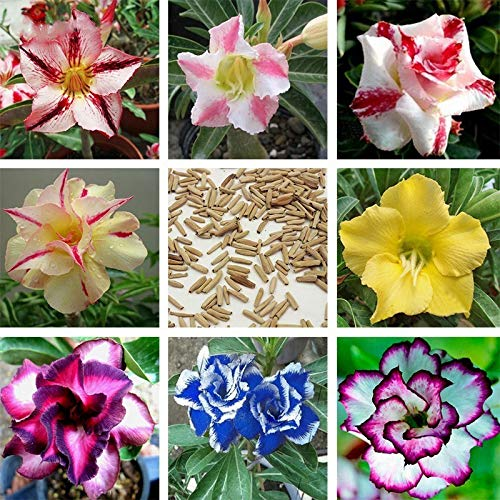 TENGGO Egrow 5 Stück/Packung Mixed Color Desert Rosensamen Zweige Topfblumen für Hausgartenpflanzen
