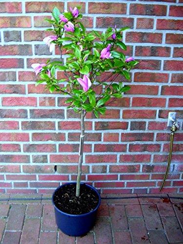 Tulpen Magnolie, Stämmchen, Magnolia...