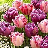Tulipa 'Lemon & Purple Delight'   15er Mix rosa-lila Tulpen Zwiebeln   Tulpenzwiebeln Winterhart Mehrjährig   Ø 11-12cm