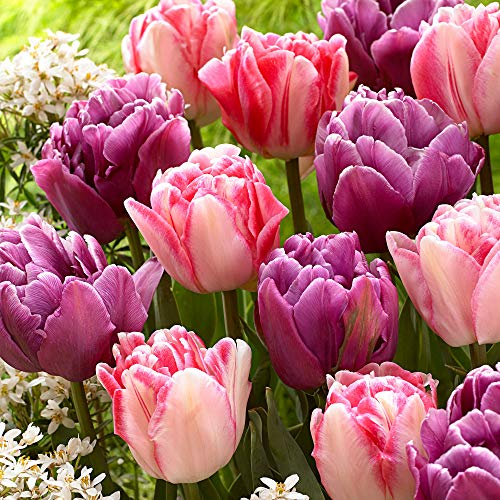 "Tulipa""Lemon & Purple Delight"" | 15er Mix rosa-lila Tulpen Zwiebeln | Tulpenzwiebeln Winterhart Mehrjährig | Ø 11-12cm"