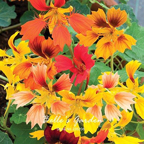 Variétés mixtes capucine Graines Capucine Tropaeolum Majus Graines de fleurs Bonsai Plante en pot bricolage jardin 10