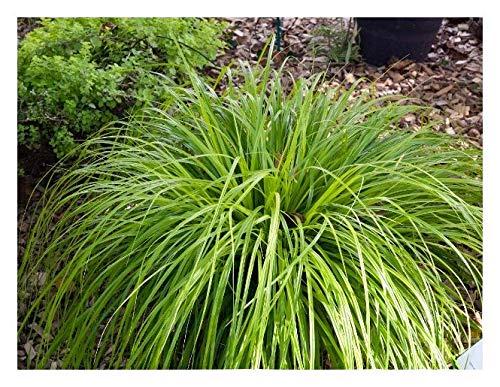 3 x Carex oshimensis 'JS Greenwell' 1...