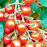 からみつく甘み!極甘ピッコラルージュミニトマトの苗【10.5cmポット 野菜 自根苗/2個セット】●新しいトマトの世界にようこそ。マウロの地中海トマト。トマトの本場イタリアのブリーダーが長年の育種により開発した超旨ミニトマト!からみつく甘み、濃赤色で高糖度!濃厚なコクが凝縮されたプレミアム品種をお楽しみください。自社農場から新鮮直送!(地域により遅霜にご注意ください)【※出荷タイミングにより、苗の大きさは大きくなったり小さくなったりしますが、生育に問題が無い苗を選んで出荷します。植物ですので多少の葉傷み等がある場合もございますが、あらかじめ、ご了承下さい】