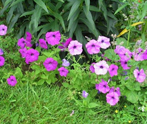 200 MIXTES BUSH PÉTUNIA Violacea LAURA rose pourpre blanc trompette Graines de fleurs