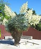 Immagine 1 beaked yucca yuca rostrata big