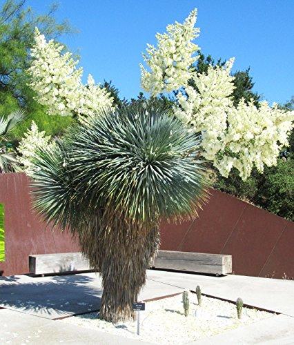 YUCA rostrata, la curva grande árbol de agave jardín picuda rara como semilla de 15 semillas