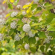 100 Seeds of Ninebark / Physocarpus Opulifolius Darts Gold