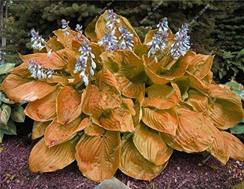 Hosta semences Bonsai Plante en pot aux herbes rares Blooming plantes couvre-sol semences jardin d'ornement Easy Grow 100 pièces/sac 10