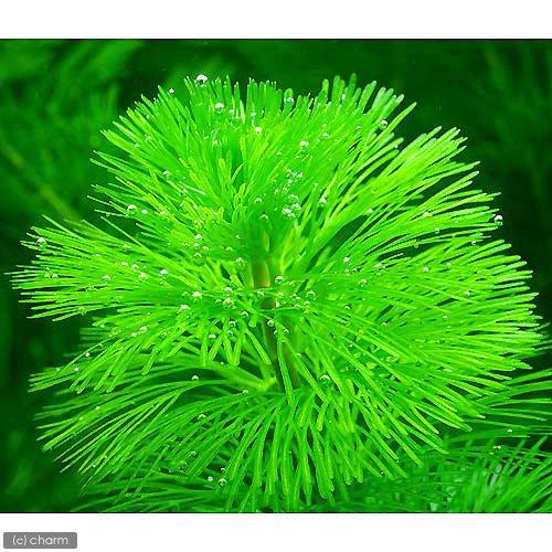 (水草)メダカ・金魚藻カボンバ(バラ10本)