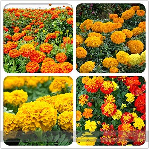 (Chrysanthemum 200 * Ambizu *) Graines mélangées chrysanthème vivace à fleurs Rouge Jaune Orange Rose Rose Marigold Graines Long Lasting Les fleurs éclosent 200 graines