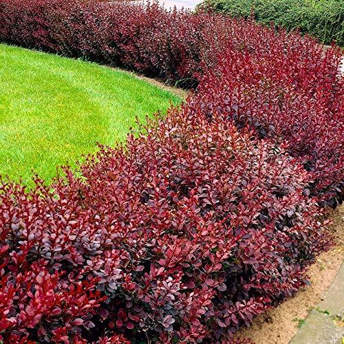 Pianta Piantina Photinia Fotinia Red Sempreverde Ornamentale Vaso 7 Cm Per Siepe Giardino Altezza Aiuole Prato (80)