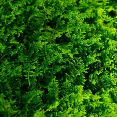 Glass Home Gardens Fresh Fern Moss