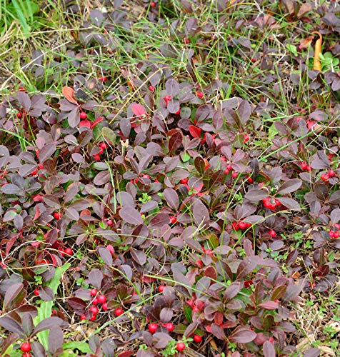 Rote Teppichbeere Scheinbeere -...