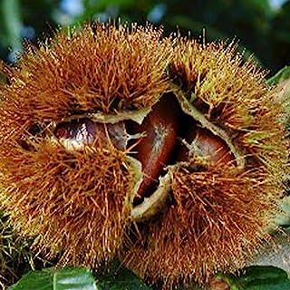 """""""ぽろたん""""渋皮がむきやすい栗の苗木 15cmポット接木苗 1本売り(ポット苗なのでほぼ年中植付け可能!)【果樹 2年生 接木苗/即出荷】ぽろたんの果実は和栗の中でも大きめで、一粒が30g前後あります。渋皮がとても剥きやすいように改良された品種..."""