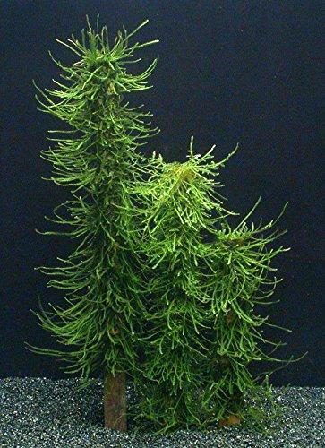 WFW wasserflora NEU! Moos Säule 30 cm/Green Moss Stack, Bambus-Stab mit Taxiphyllum barbieri (Javamoos) bewachsen