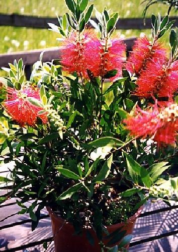 TROPICA - Australischer Lampenputzer (Callistemon citrinus) - 400 Samen