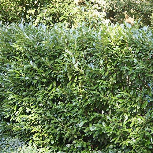 SANHOC Samen-Paket: 4: Prunus Laurocerasus Otto Luyken - 20 sSEED
