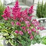 Van Zyverden 83612 Shade Perennial Patio Container Collection Set of 3 Roots Flowering-Plants #1 Assorted